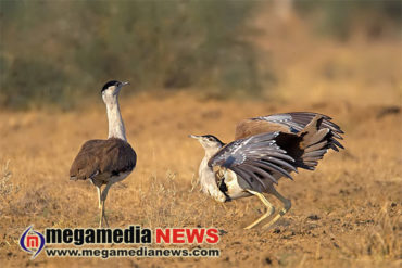 Great-Indian-Bustards